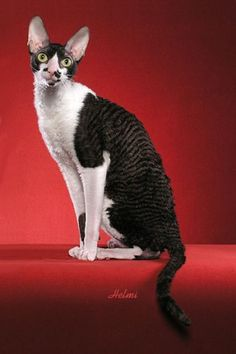 Dear Cornish Rex Cat; Yes you look possessed, yes you have a weird Hitler-esque mustache going on, and yes you have made it onto my Xmas wishlist for 8 years in a row now, but rest assured, you will be mine oneday...oneday.  (If not purely to torture Melissa Kemp with).