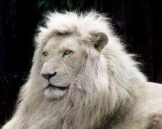 leão branco - branco em inglês http://www.englishok.com.br/10-frases-com-branco-em-ingles/
