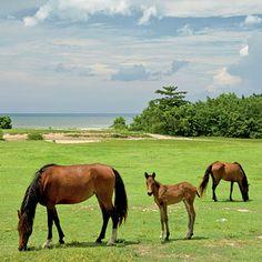 Wild horses in Vieques, Puerto Rico.
