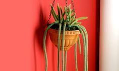 Vamos a ver diferentes cactus de porte colgante y la manera de plantar uno de ellos para decorar nuestro hogar.