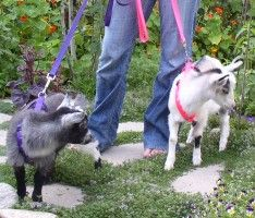 Take the goats for a walk like the dogs.