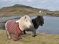 Shetland Pony Sweaters, Scotland