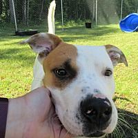 Henderson Nc American Bulldog Meet Scarface A Dog For Adoption
