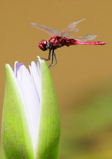 Water Bugs and Dragonflies poem