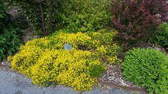 Genista lydia. Genista lydia - Fleurs Fleurs Ce petit arbuste qui s'étale, apprécie les sols pauvres, bien drainés et le plein soleil. Le genêt d'Espagne est rustique à condition d'être installé dans un sol bien drainé. Il n'aime pas l'humidité stagnante. Il est possible de le tailler légèrement pour lui garder une forme régulière mais il ne faut pas aller jusqu'au vieux bois sinon il ne repousse pas. Cet arbuste convient bien dans les rocailles, les aménagements de talus, les jardins secs,