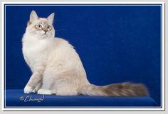 The cat I would get if I could... it's said to be hypoallergenic: Siberian Cat- Blue Lynx Point