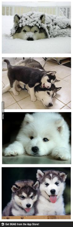 cute huskies!