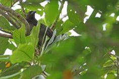 Kai Coucal (Centropus spilopterus) calling adult, in tree