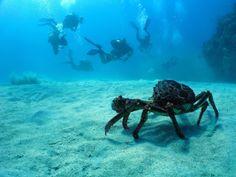 Le crabe regarde passer les plongeurs