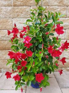 Dipladenia: come coltivare, potare e curare la mandevilla Garden Garden apartment garden arrangement garden equipment garden fence Garden ideas Garden small Beautiful Flowers, Flower Pots, Plants, Citrus Plant, Flowering Vines, Flowers, Good Morning Flowers, Garden Design, Garden