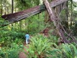 If you like to hike beneath towering redwoods, on trails made soft by a deep carpet of needles, you are…