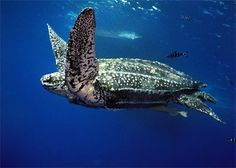 Leatherback Sea Turtle: The largest sea turtle in the world.