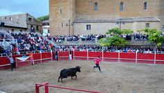 Santacara: Vacas Merino - Fiestas de Santa Eufemia Año 2016 (...