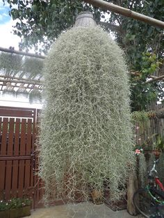 Spanish Moss - a tillandsia. This is a great idea for anyone who loves Spanish M. Types Of Air Plants, Air Plants Care, Plant Care, Tropical Garden, Tropical Plants, Tillandsia Usneoides, Hanging Air Plants, Epiphyte, Spanish Moss