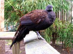 Faisão Eperonie da Montanha Rothschilds - Aves Ornamentais - Faisão | Fazenda Visconde