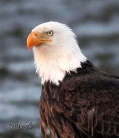 I love bald eagles, so beautiful