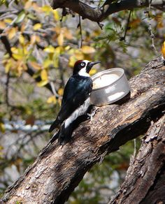 Acorn Woodpecker in New Mexico - photo by Roy Atkins. We're heading there at the end of the month - want to join us?
