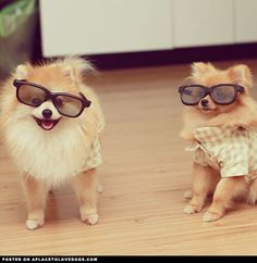 Two adorable, fashionable Pomeranians with their cool shades on!