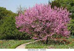 Image result for judas tree images Judas Tree, Tree Images, Garden, Plants, Mediterranean Garden, Garten, Lawn And Garden, Gardens, Plant