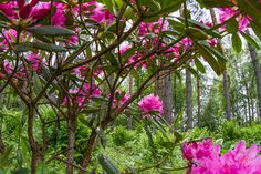 Rhododendron Haaga, Finland by Heikki Rantala Finland, Gardening, Plants, Fun, Lawn And Garden, Plant, Planets, Horticulture, Hilarious