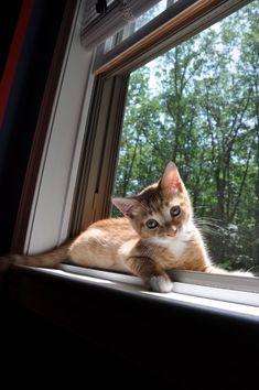 =^.^= CÅt§ in The Window ♥ #catbreed