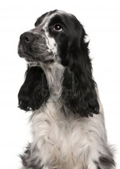 english cocker spaniel - Google Search