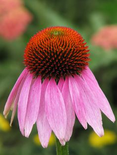 A native Ohio flower, Purple coneflowers are a great way to add some local color to your garden.