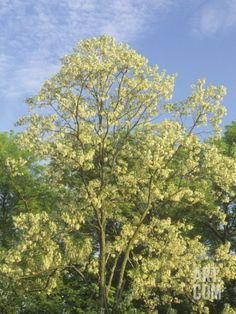 Black locust (Robinia pseudoacacia) | Black Locust Tree, Robinia Pseudoacacia, in Full Bloom, USA ...