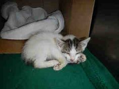 RASPBERRY is an adoptable Domestic Short Hair Cat in Crystal Lake, IL.  ...