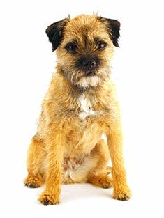 Border terrier or LBD, little brown dog.lots of love in a little package! Border Terriers For Sale, Border Terrier Puppy, Patterdale Terrier, Terrier Breeds, Terrier Dogs, Border Terrier Welpen, Felt Dogs, Best Dog Breeds, Brown Dog