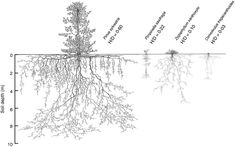 Deep roots determine many ecosystem services but remain understudied due to the challenges involved in the observation and measurement of deep roots. In this paper Pierret et al. show that root structures and functions differ according to their depth and suggest that deep rooting systems could be more widespread than was previously thought.  Drawings of the above- and below-ground extension of the species Pinus sylvestris Pimpinella saxifrage Zygophullum xanthoxylo and Convolvulus…
