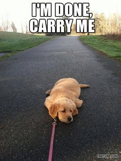 Golden Retriever Puppy knows his limit.-- this is exactly like my German Shepard/Golden Retriever puppy Animal Memes, Funny Animals, Cute Animals, Animals Dog, Animal Quotes, Puppy Quotes, Baby Quotes, Funny Dog Pictures, Animal Pictures