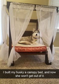 Entitled Husky. That's so adorable!
