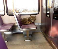 coyotes ride free on portland transit ;)
