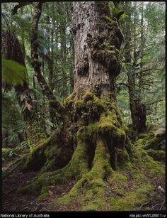 Dombrovskis, Peter, 1945-1996. Temperate rainforest, southwest Tasmania, 1991, 1 [transparency]