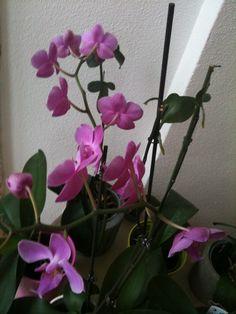 Phaléonopsis violet