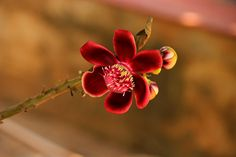 Detail of Cannonball tree flower: Couroupita guianensis [Family: Lecythidaceae]. To see the exceptional beauty of this image click on it, and then click again on the next two images.