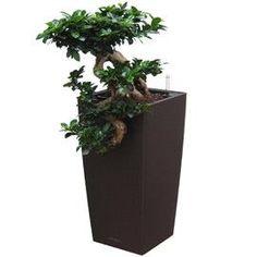 drzewko bonsai ficus ginseng, bonsai sklep, sprzedaż. | eva with ...