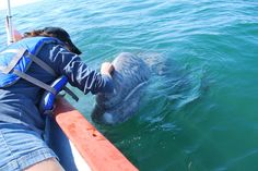 Gray Whale Babies Getting Schooled (Article via baja.com)  This is Baja Expeditions!!!