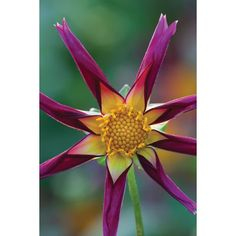 I have just purchased Dahlia 'Tahoma Moonshot' from Sarah Raven - http://www.sarahraven.com/flowers/bulbs/dahlias/dahlia_tahoma_moonshot.htm