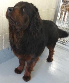 Long Haired Rottweiler Unusual Colors And Coats In Dogs