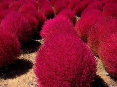 Kochi Scoparia grass plants