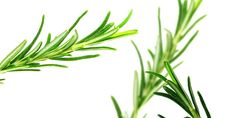 Natural remedies may be the very best kind of treatment for whatever ails you. See if your specific disease may be treatable utilizing a natural cure quickly. Essential Oil For Liver, Hangover Essential Oils, Laurier Sauce, L Eucalyptus, Natural Headache Remedies, How To Dry Rosemary, Rosemary Tea, Rosemary Plant, Best Oils
