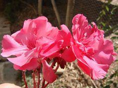 OLEANDER HAUS  Nerium Oleander Gotsis Aigeus Nerium, Plants, House, Plant, Planting, Planets
