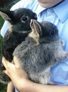 "Bunnies on Twitter: ""… "" Cute Baby Bunnies, Cute Baby Animals, Cute Cats, Funny Rabbit, Rabbit Baby, Netherland Dwarf Bunny, Dwarf Baby, Rabbits For Sale, Dwarf Bunnies"