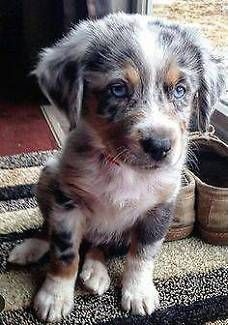 aww, too adorably cute, australian shepherd Cute Baby Animals, Animals And Pets, Funny Animals, Cute Puppies, Cute Dogs, Dogs And Puppies, Mini Puppies, Aussie Puppies, Teacup Puppies