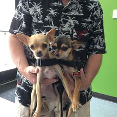 This is Fawn & Phoebe, two cute Chihuahuas. #chihuahua #chihuahuasofinstagram #dogsofinstagram #dogsofgrandrapids