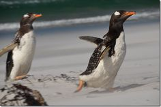 Penguins in South America. #SouthAmericaGrandVoyage