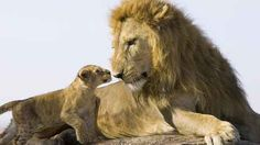 animals lion baby lion and big lion wallpaper
