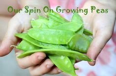Our Spin On Growing Peas-Peas are easy to grow, so they make ideal plants to grow with children at school or at home. 'Growing Peas with Kids' has helpful tips on - naturally - growing peas, as well as ideas for extending learning through books and craft. Fun Stuff To Do At Home, Growing Peas, Preschool Garden, Garden Journal, Garden Care, Summer Garden, Growing Vegetables, Get Outside, Garden Projects